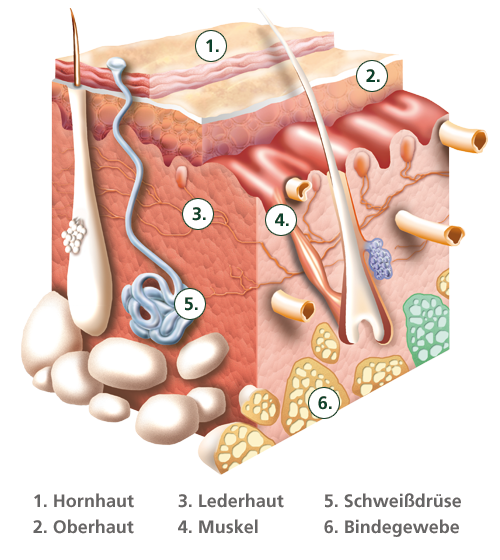 Aufbau der Haut